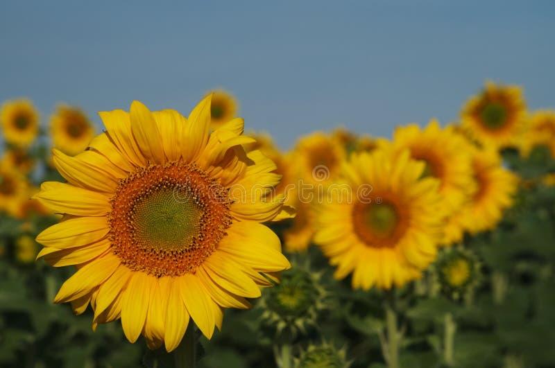 Zonnebloemen stock afbeeldingen