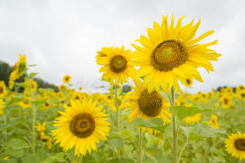 Zonnebloemen stock foto