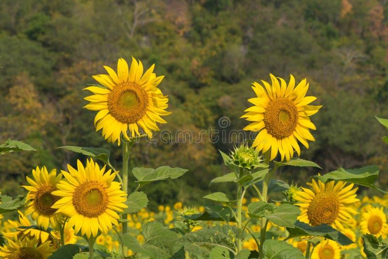 Zonnebloemen in aard stock afbeelding