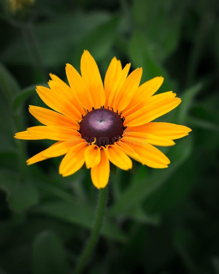 Zonnebloemen buiten daglicht stock fotografie