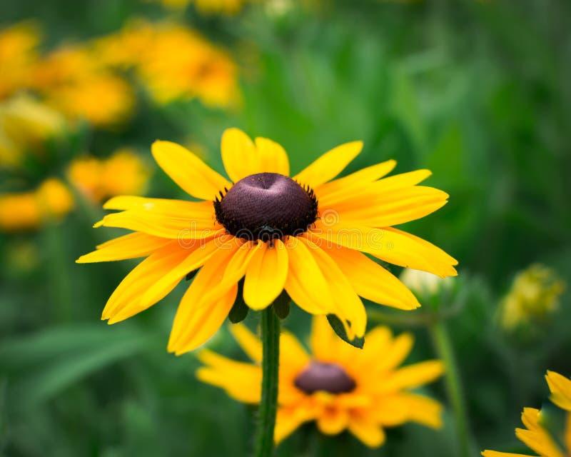 Zonnebloemen buiten daglicht stock afbeelding