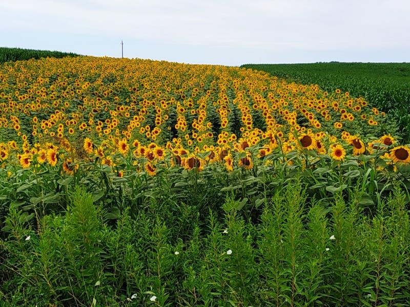 Zonnebloemen in de ochtend stock afbeeldingen