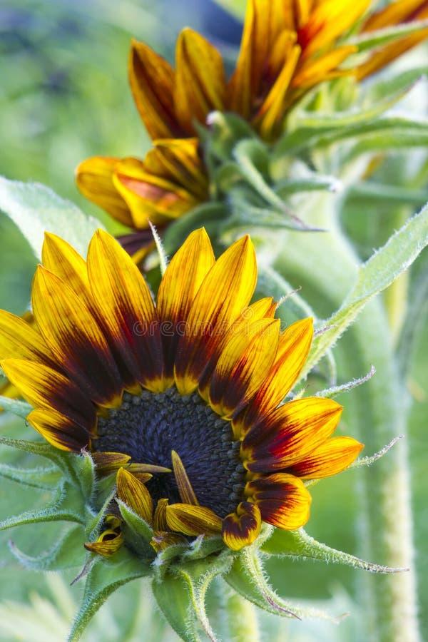 Zonnebloemen in de tuin (Helianthus) royalty-vrije stock afbeeldingen