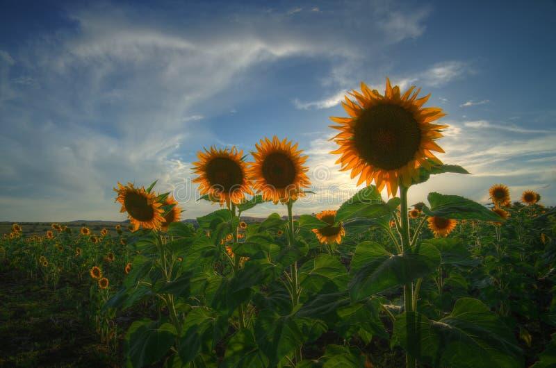 Zonnebloemen - de zomerbeeld stock afbeeldingen