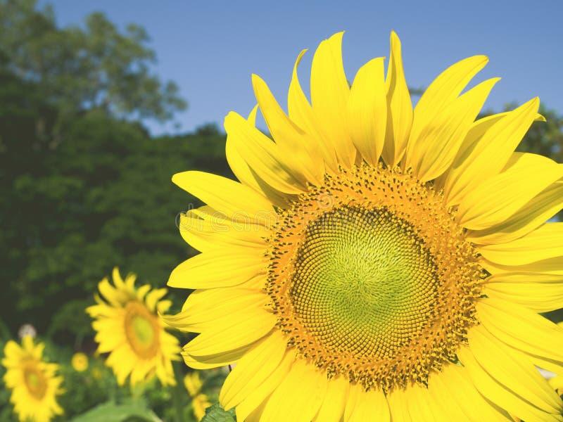 Zonnebloemen - Zonnebloemen die in de gebieds uitstekende filter bloeien stock afbeeldingen