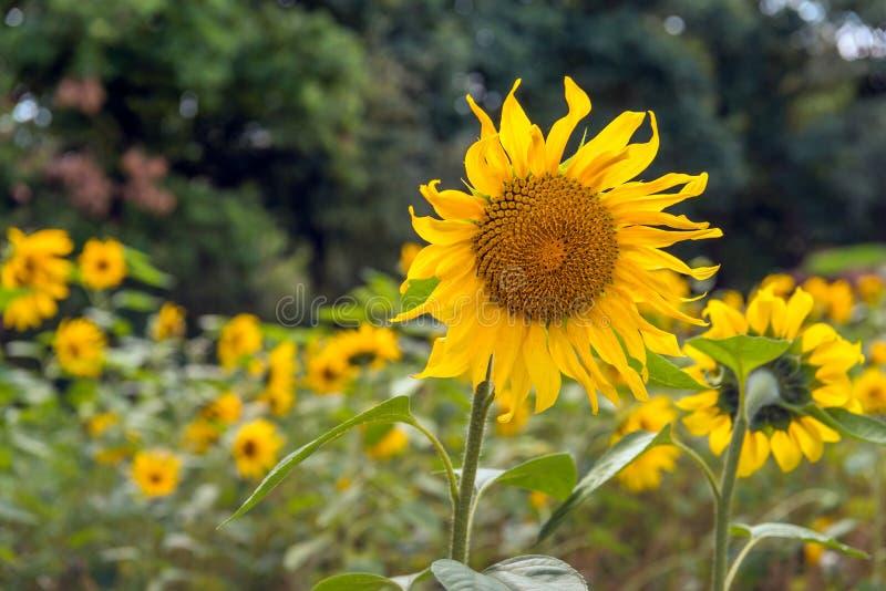 Zonnebloemen die in een gebiedsrand bloeien royalty-vrije stock fotografie