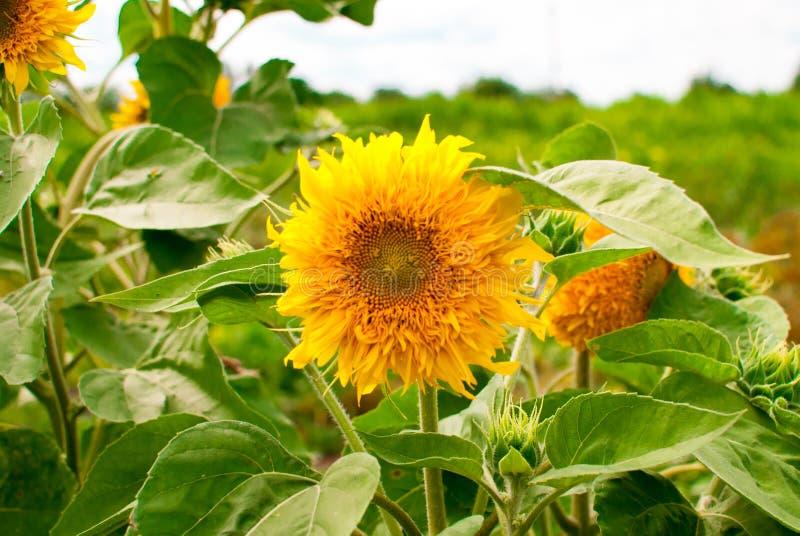 Zonnebloemen die in landbouwbedrijf met blauwe hemel bloeien royalty-vrije stock fotografie