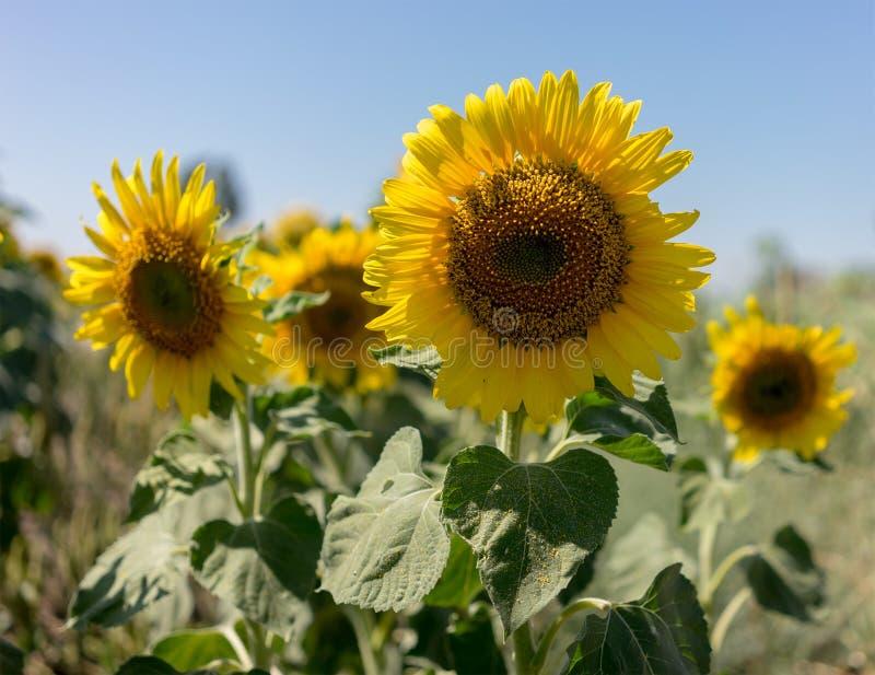 Zonnebloemen die in landbouwbedrijf met blauwe hemel bloeien royalty-vrije stock afbeelding