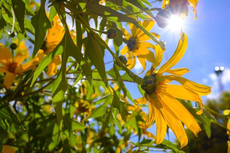 Zonnebloemen in een volledige bloei royalty-vrije stock afbeeldingen