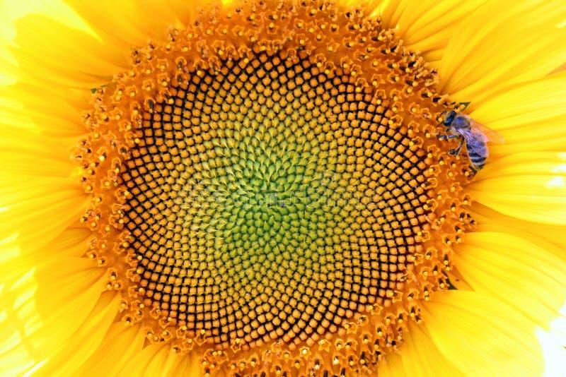 Zonnebloemen en bij royalty-vrije stock afbeelding