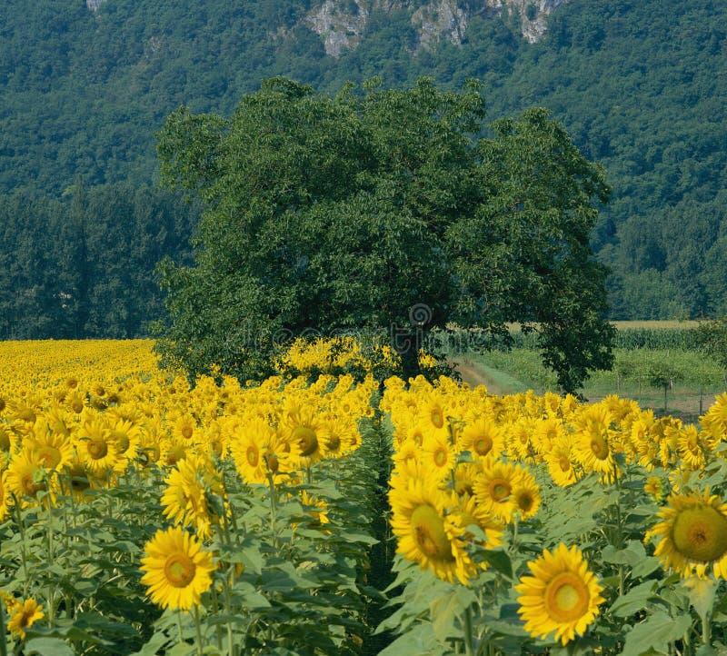 Zonnebloemen en Boom Dordogne Frankrijk stock foto's