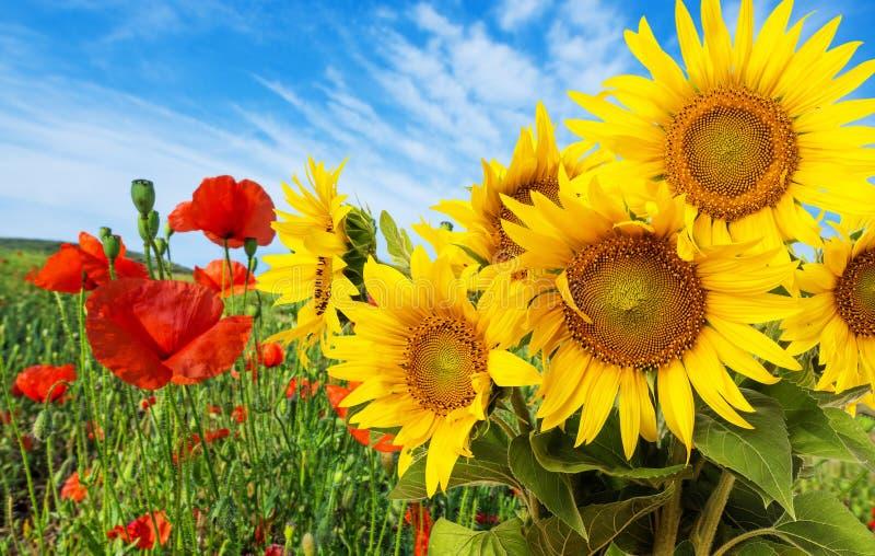 Zonnebloemen en papavers royalty-vrije stock foto