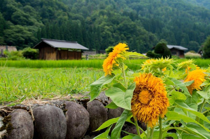 Zonnebloemen en plattelandshuisje in padieveld royalty-vrije stock afbeelding