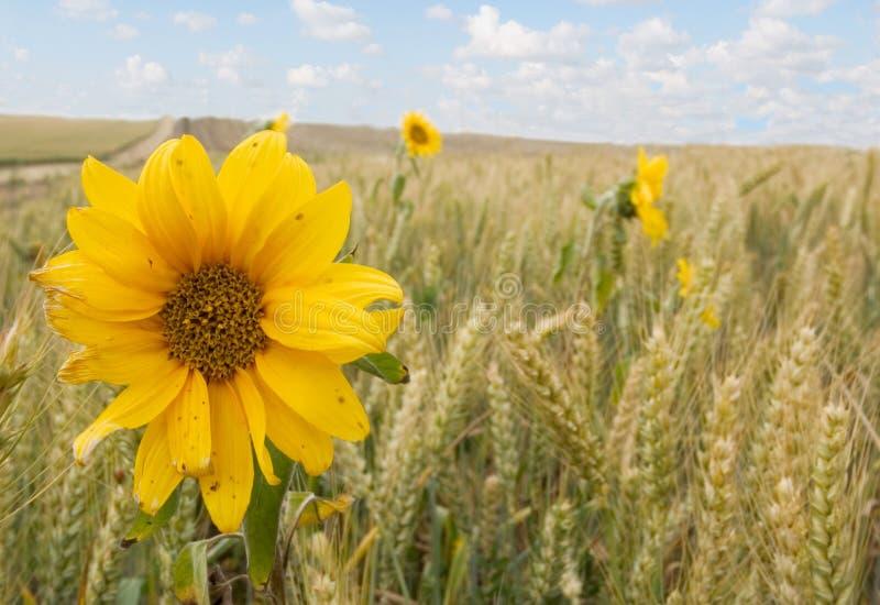 Zonnebloemen en Tarwe stock afbeelding