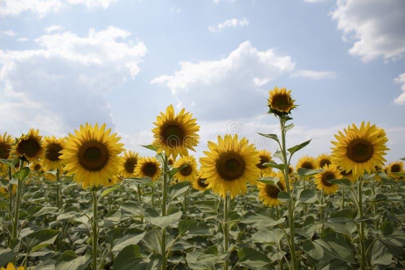 Zonnebloemen in Frankrijk Beeld dat bij middag, tegen een heldere hemel met wolken wordt genomen royalty-vrije stock afbeelding
