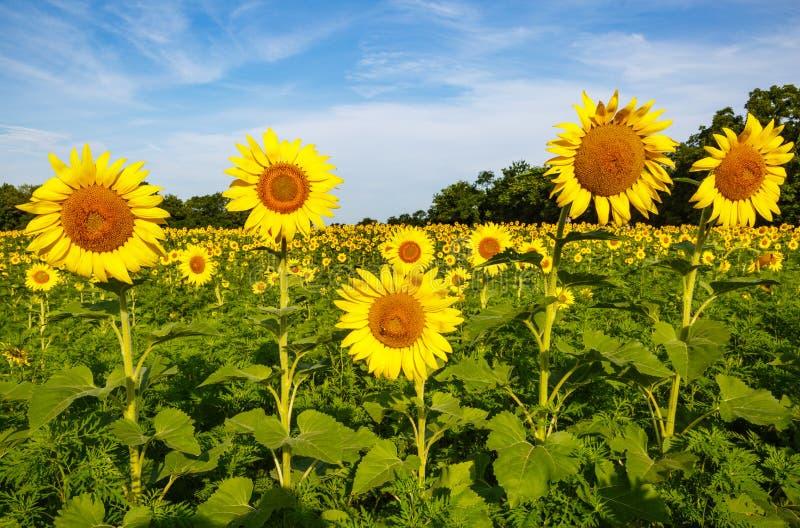 Zonnebloemen in Gebieds Blauwe Hemel stock afbeeldingen