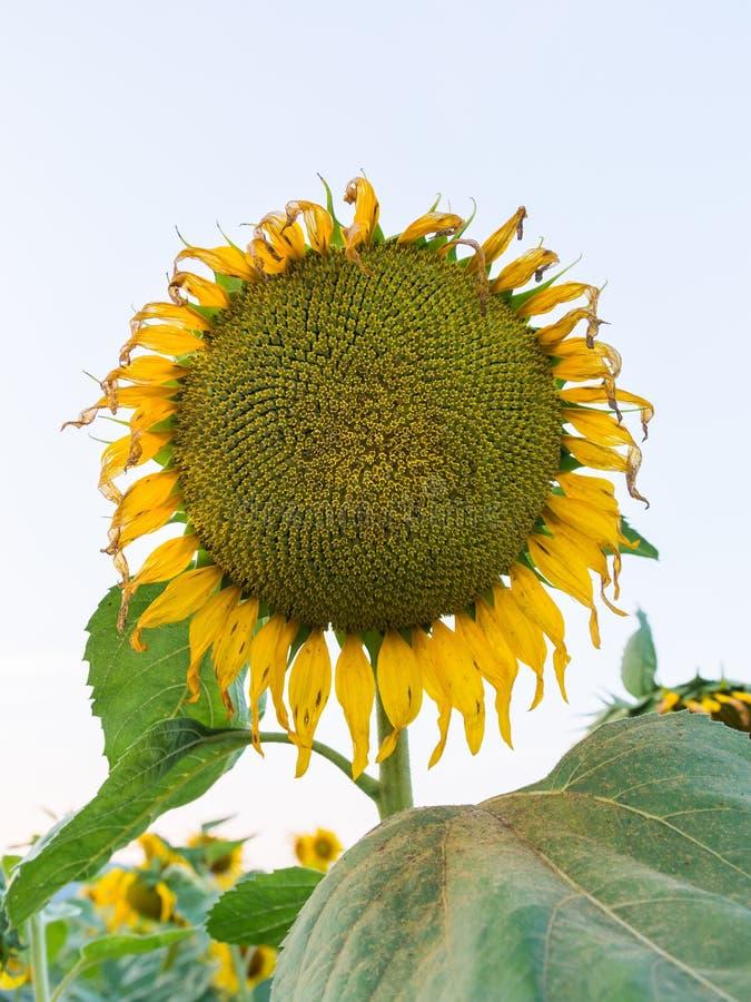 Zonnebloemen in het gebied en de hemel stock foto's