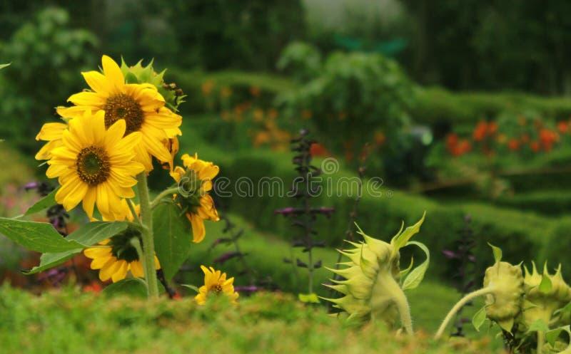 Zonnebloemen in het kodaikanal chettiar park stock afbeelding