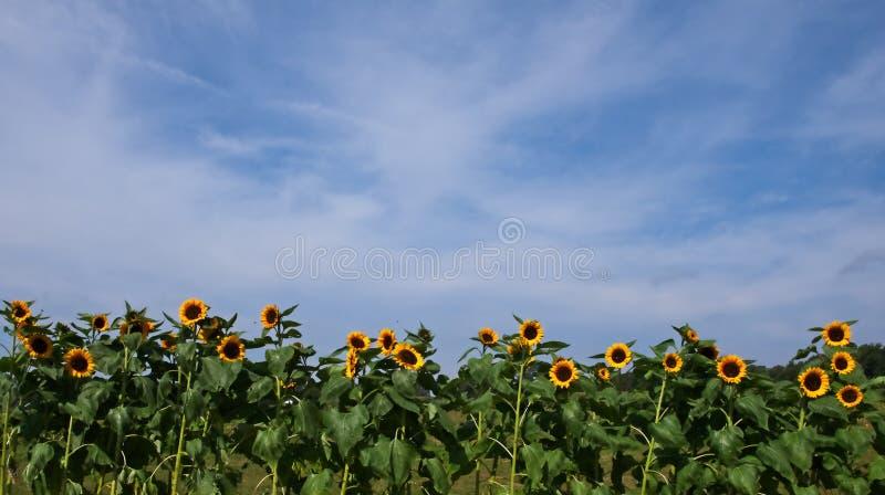 Zonnebloemen met bewolkte blauwe hemel royalty-vrije stock foto's