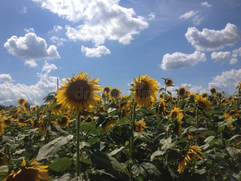 Zonnebloemen met Blauwe Hemel en Wolken royalty-vrije stock afbeelding