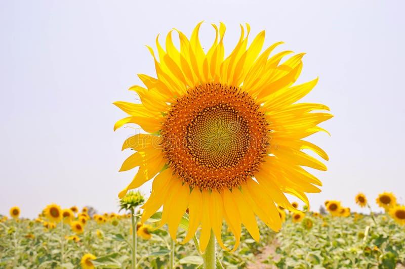 Zonnebloemen met de zon royalty-vrije stock afbeelding