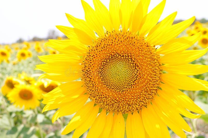 Zonnebloemen met de zon royalty-vrije stock foto's