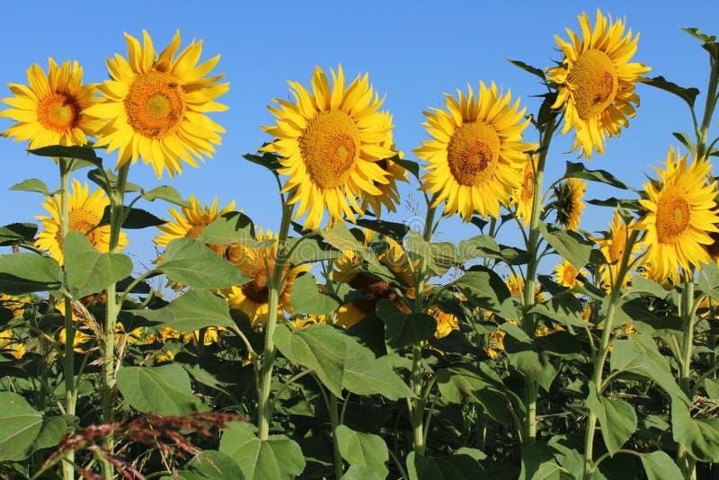 Zonnebloemen met lichtblauwe hemel stock fotografie