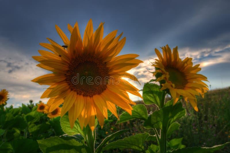 Zonnebloemen met zonsondergang stock foto