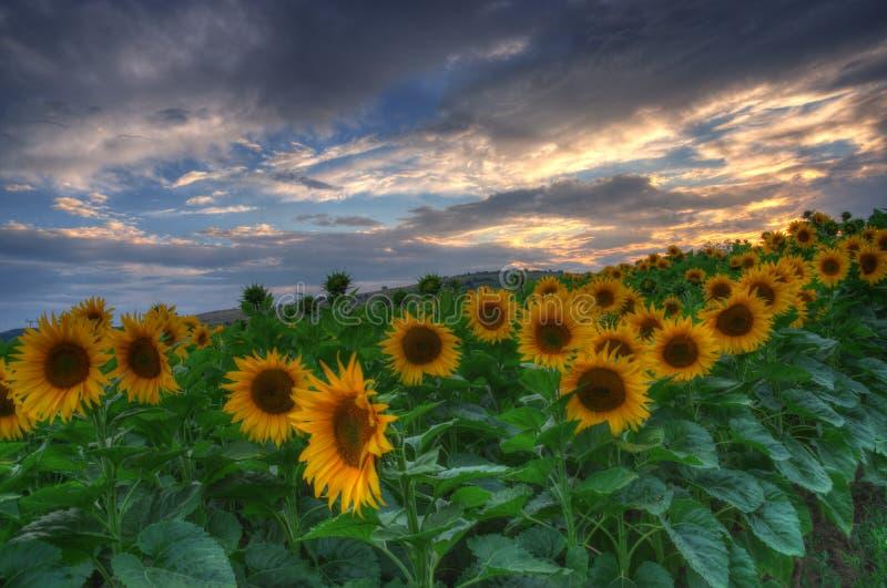Zonnebloemen met zonsondergang royalty-vrije stock afbeeldingen