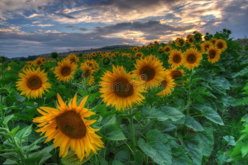Zonnebloemen met zonsondergang royalty-vrije stock foto's
