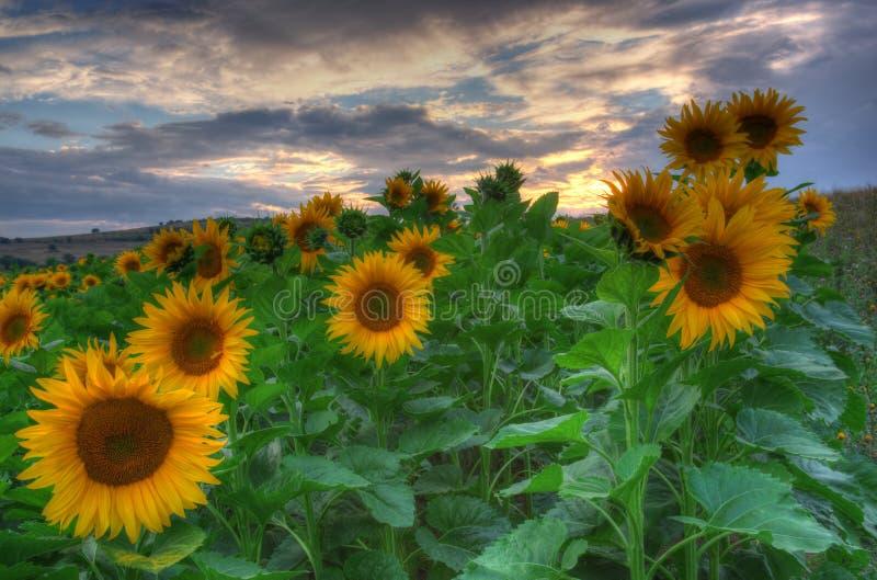 Zonnebloemen met zonsondergang stock afbeelding