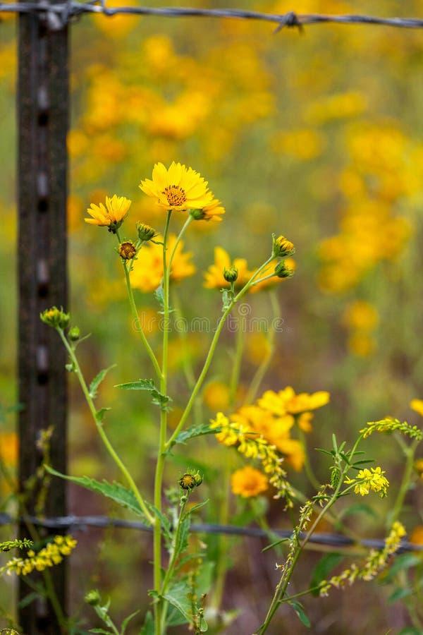 Zonnebloemen op buiten Barb Wire Fence Closeup stock afbeeldingen