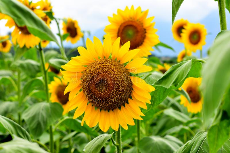 Zonnebloemen op een gebied royalty-vrije stock foto
