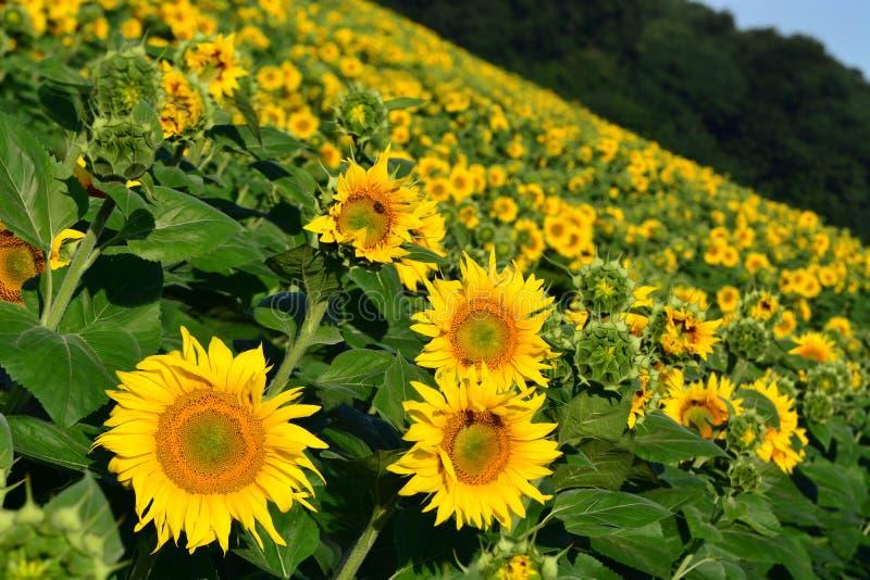 Zonnebloemen op een gebied royalty-vrije stock fotografie