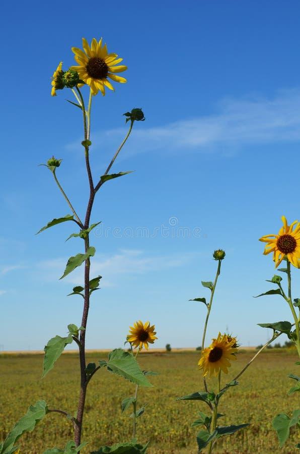 Zonnebloemen op een gebied met blauwe hemel royalty-vrije stock afbeelding