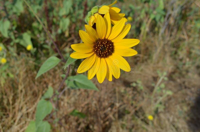Zonnebloemen op een gebied op een zonnige dag stock afbeelding