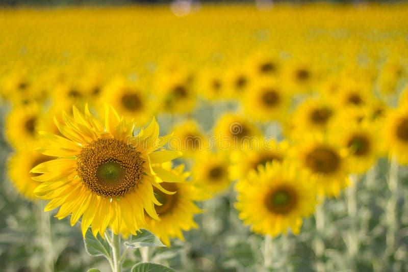 Zonnebloemen op gebied stock foto