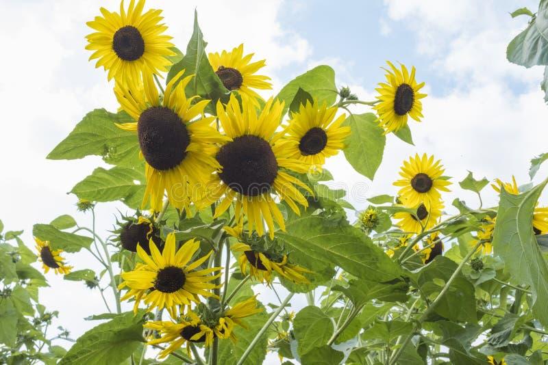 Zonnebloemen op gebied tegen een heldere hemel stock afbeelding