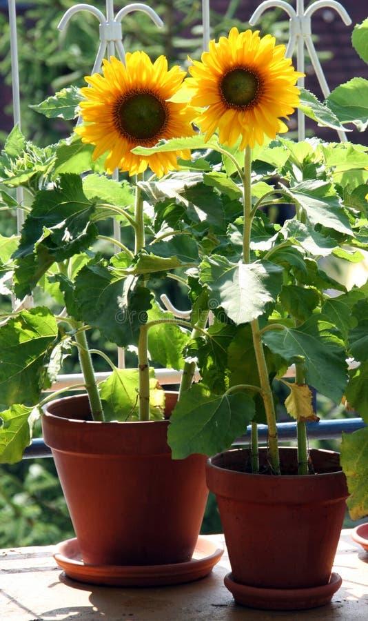 Zonnebloemen op het balkon stock foto
