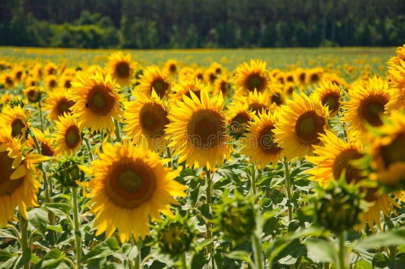 Zonnebloemen op het gebied stock afbeelding