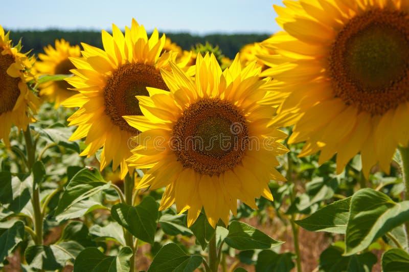 Zonnebloemen op het gebied royalty-vrije stock foto's