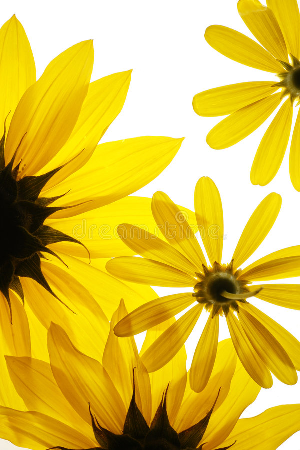 Zonnebloemen op witte achtergrond stock afbeeldingen