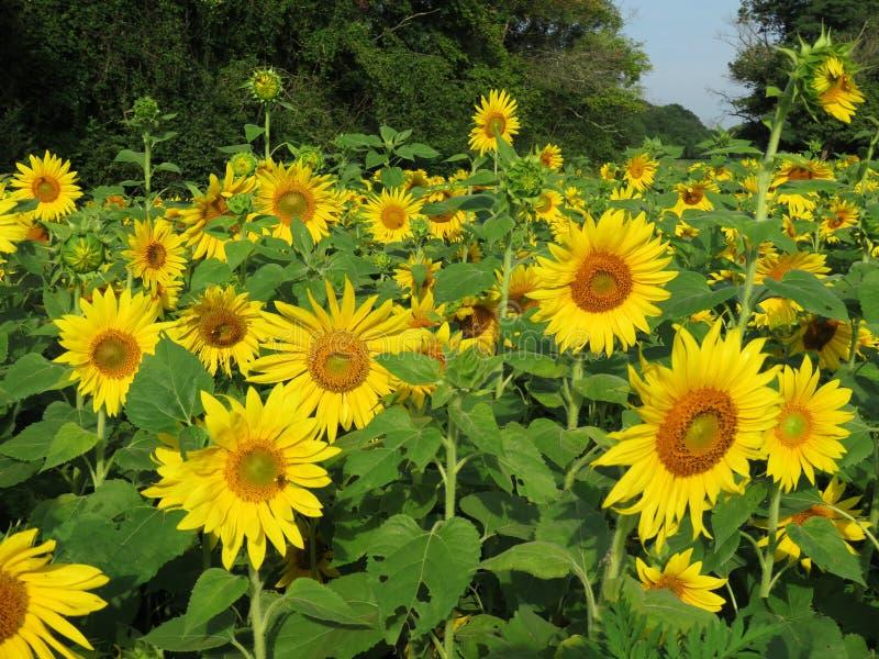 Zonnebloemen overal stock foto's