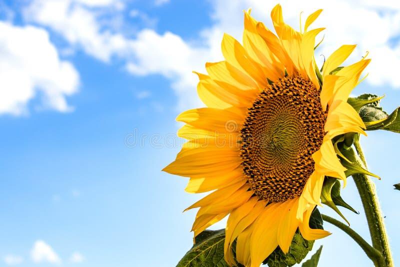 Zonnebloemen tegen de hemel Zonnebloemen in landbouw in de zomer royalty-vrije stock afbeeldingen