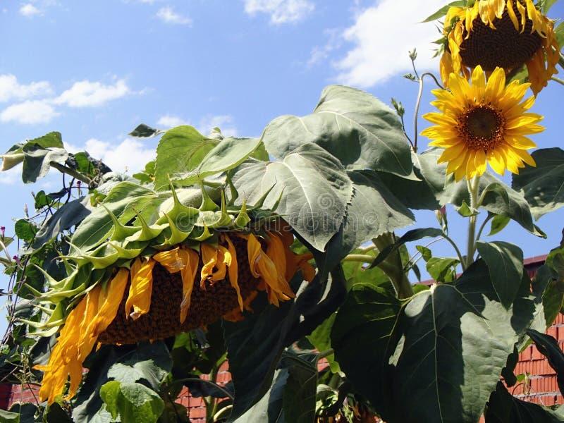 Zonnebloemen tegen een heldere hemel bloeien, Zonnebloemen, mooie en grote zonnebloemen die bloeien, royalty-vrije stock afbeelding