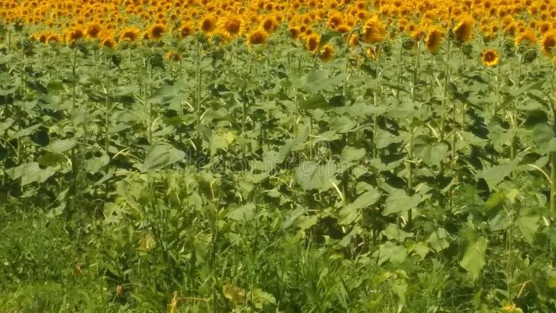 Zonnebloemen voor altijd! Reusachtig gebied! royalty-vrije stock foto
