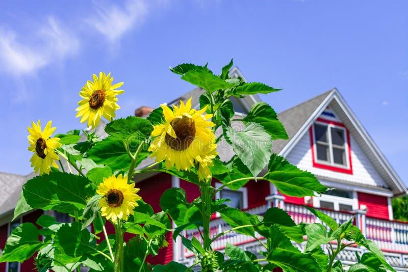 Zonnebloemen voor een rood buitenhuis stock afbeelding