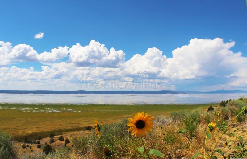 Zonnebloemen voor Meer Albert in Oregon met pluizige witte wolken in blauwe hemel die water overdenken royalty-vrije stock fotografie