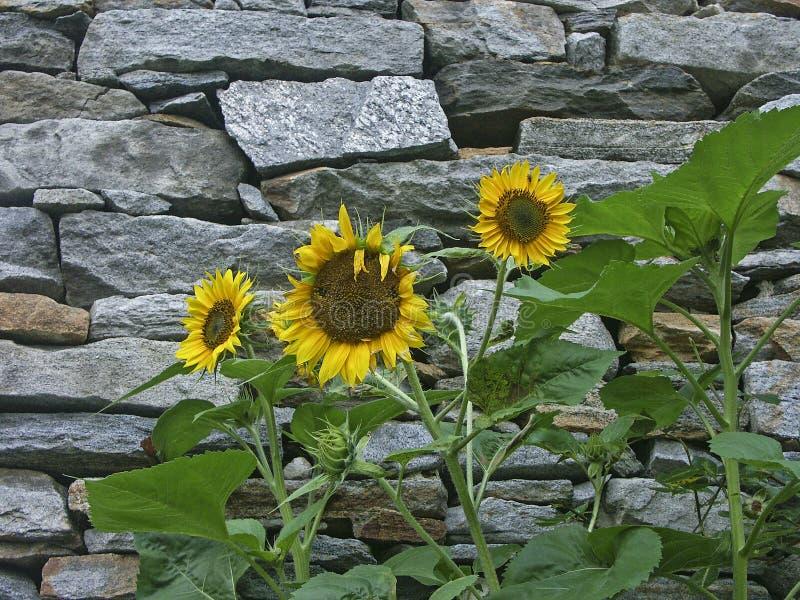 Zonnebloemen voor muur royalty-vrije stock afbeeldingen