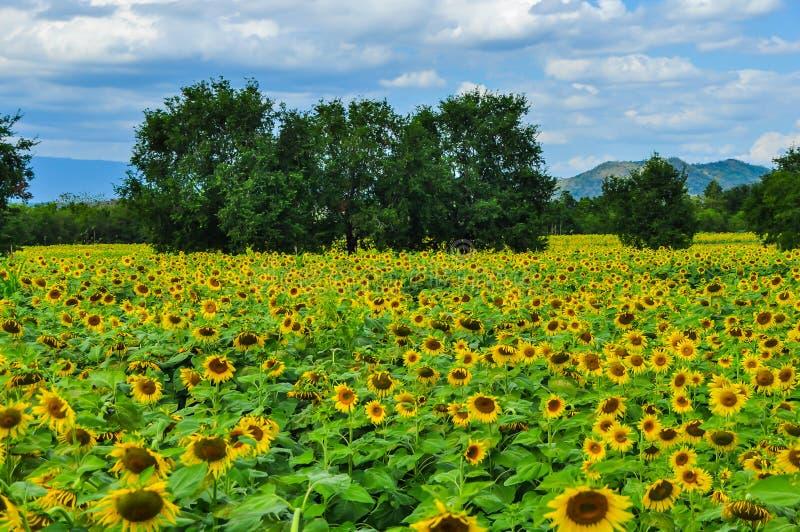 Zonnebloemenaanplanting met bergachtergrond royalty-vrije stock fotografie